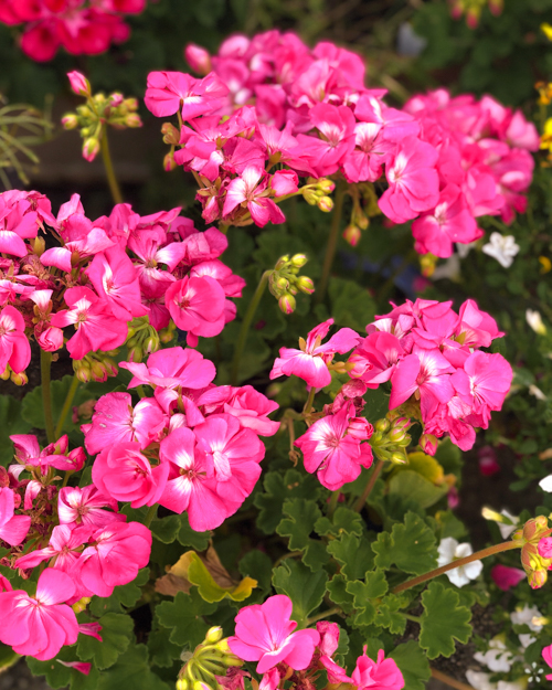 What does Pelagona mean pelargonium flower